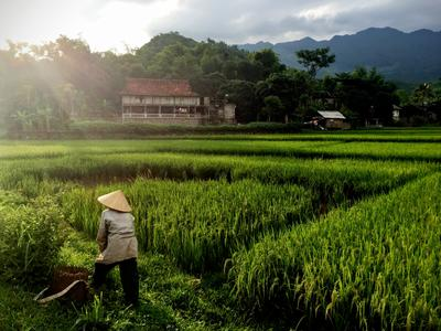 Locals working in rice fields at Mai Chau valley