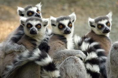 Lemurs at the Conservation project in Madagascar