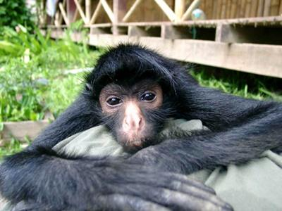A monkey posing for a photo at the conservation base in Peru