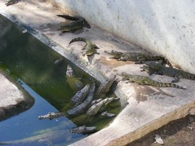 Young crocodiles at Conservation project in Mexico