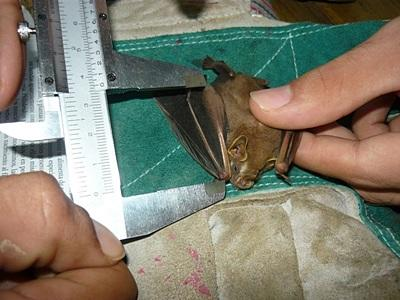 Volunteers measure the size of a bat in Costa Rica