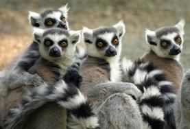 Lemurs are seen at a Rainforest Conservation placement in Madagascar