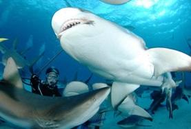 Conservation volunteers observe a group of sharks during a survey dive in Fiji.