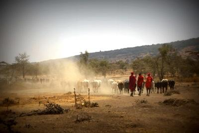 Maasai men walk with their cattle