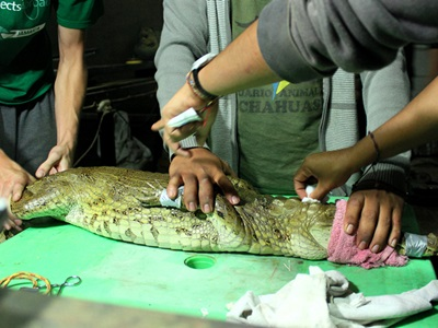 Volunteers doing checks on a baby crocodile